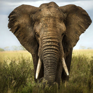 Fototapet Wild Elephant